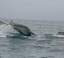 Large Tail Slap of a Humpback Whale by rhamm
