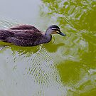 Australian Pacific Black Duck. Berwick, Victoria. by johnrf