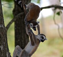 Two young Ringtail Lemurs playing by Thomas Gelder