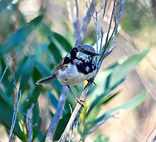 Immature male superb Fairy-wren by Ian Berry