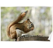 Red Squirrel Eating Sunflower Seeds Poster