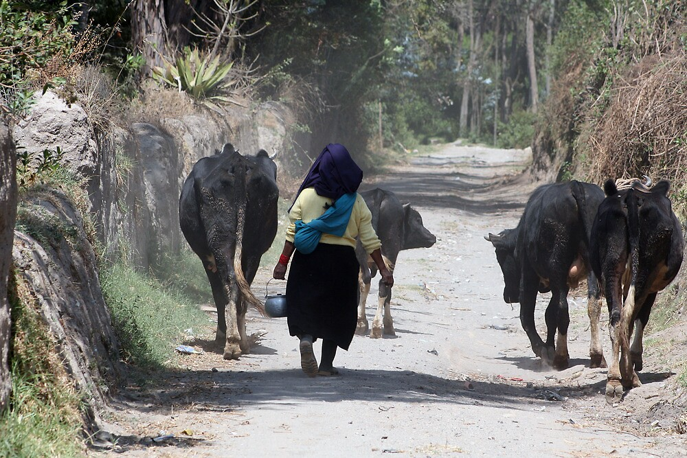 Herding Cows in Cotacachi by rhamm