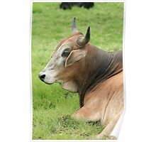 Head of a Brown Bull Poster