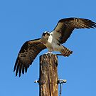 An Osprey with his catch by SANDRA BROWN