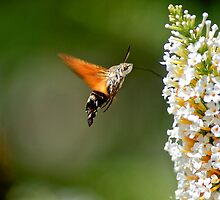 Humming Bird Moth 2 by redleg