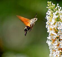 Humming Bird Moth 2 by Thomas Gelder