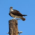 An Osprey  by SANDRA BROWN