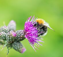 Bee on a Thistle by Nick Jenkins