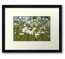 Oxeye Daisies in a field Framed Print