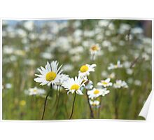 Oxeye Daisies in a field Poster