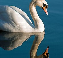 Mute Swan Reflected by Nick Jenkins