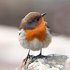 Robin on a cold winter day  by Nick Jenkins