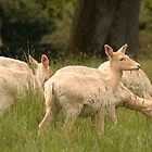 White Fallow Deer by Adrian McGlynn