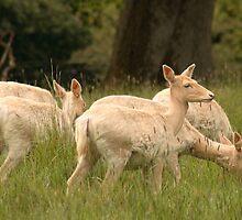 White Fallow Deer by Adrian McGlynn