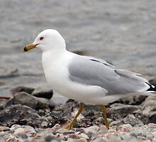 Herring Gull Walking on a Rocky Beach by rhamm