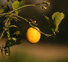Lemon Hanging From a Branch by rhamm