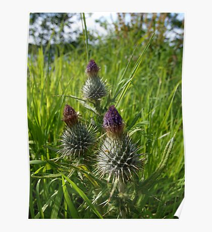 Thistles at Loch Ness Poster
