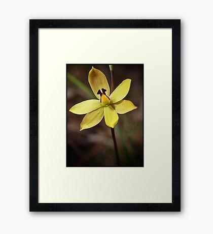 Lemon Scented Sun Orchid Framed Print