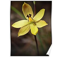 Lemon Scented Sun Orchid Poster