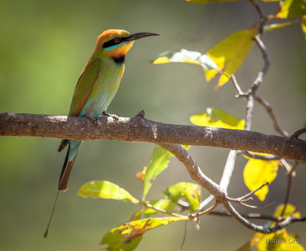 Rainbow Bee-eater by Natalie Ord
