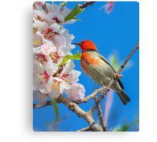 Scarlet Honeyeater Canberra Australia  Canvas Print