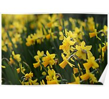 Little Yellow Daffodils Poster
