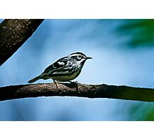 Black And White Warbler Photographic Print