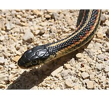 Head of a Red Sided Garter Snake Photographic Print