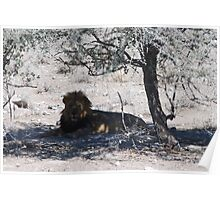 Lion Lying Under Tree Poster