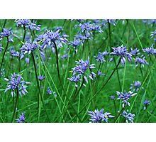 purple tassels Photographic Print