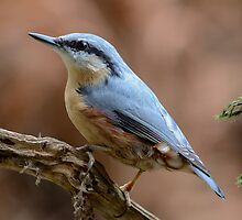 Nuthatch - V by Peter Wiggerman