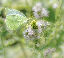 White Cabbage Butterfly by Owed to Nature