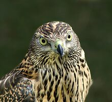 Goshawk by Chris Day
