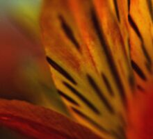 Macro Alstroemeria by photojeanic
