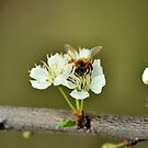 Bee and Blossom 2 by Bami
