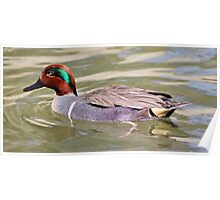 American Green Winged Teal Poster
