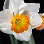 Daffodil Dressed in White by Joy Watson