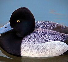 Greater Scaup  by Cynthia48