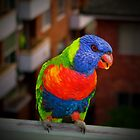 Lorikeet - Three-coloured guest by Alexey Dubrovin