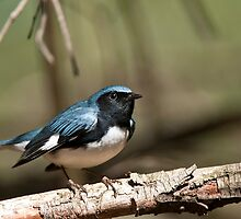Black Throated Blue Warbler by Michael Cummings