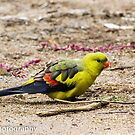 Regent Parrot Two by Rick Playle