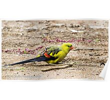 Regent Parrot Two Poster