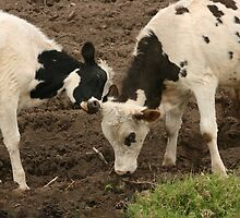 Young Cow and Bull Pushing by rhamm
