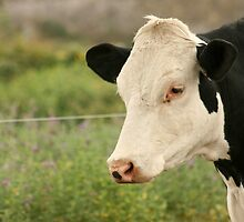 White Head of a Cow by rhamm