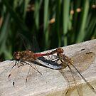 pair of mating ruddy darter dragonflies by brucemlong