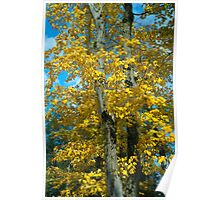Yellow Maples Poster