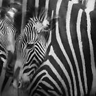 Zebra 16x32 canvas by Frederick  Olmsted