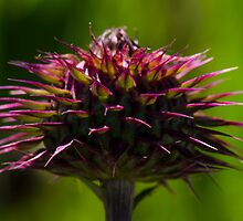 Thistle Bud  by Nicole  Markmann Nelson