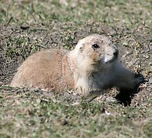 Black Tailed Prairie Dog by rhamm