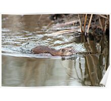 Muskrat Swimming in a Marsh Poster